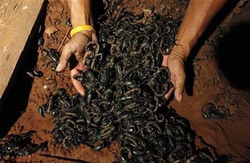 LOOK: The world's most venomous scorpion