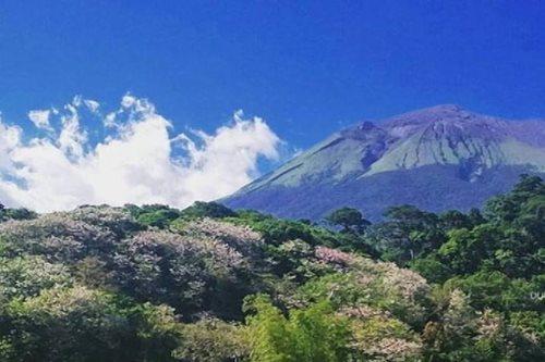 PANOORIN: Cherry blossoms umusbong sa Negros Occidental