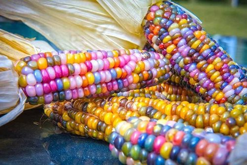 Wow! Rainbow-colored corn sprouts in Zamboanga City