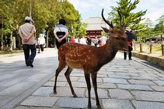 Deer in Japan's Nara died with numerous plastic bags in stomach