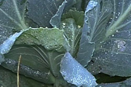Frost damages Benguet vegetables