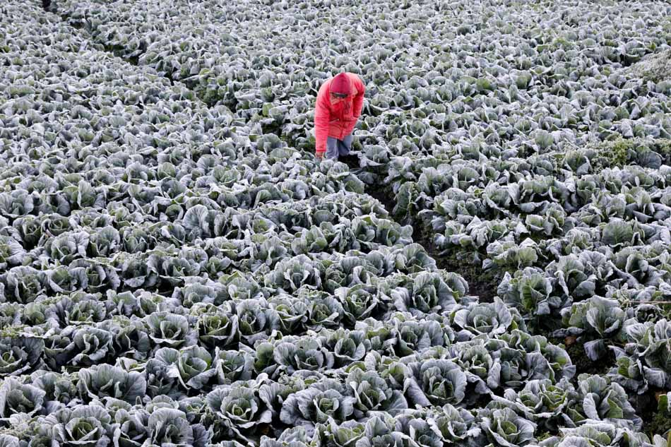Frosty vegetables in Atok, Benguet