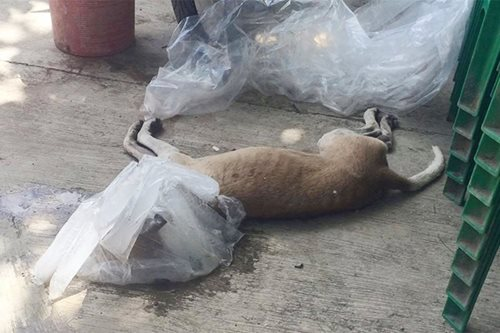 Dog in Mandaue biting spree positive for rabies
