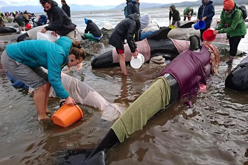 Pilot whales stranded in NZ