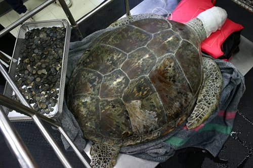 This green sea turtle swallowed 915 coins
