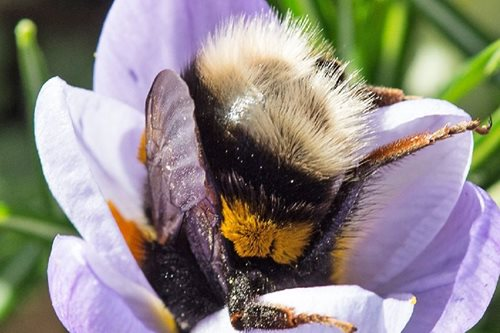 Why do bumblebees have smelly feet? Study reveals