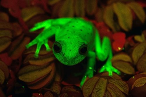 LOOK: A fluorescent frog found in Argentina