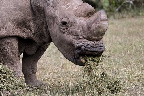 Horny male seeks mate: Kenya's last northern white rhino joins Tinder