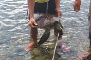 Russian nabbed for spearing rare turtle in Negros