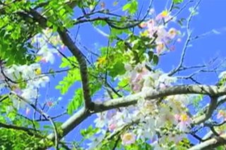 Cherry blossoms to bloom in Palawan