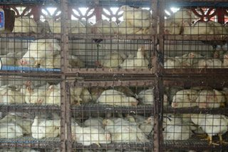 Govt prepares aid for bird flu-hit farmers