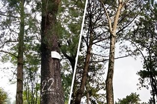 2 tree species found to be detrimental to Baguio's pine trees