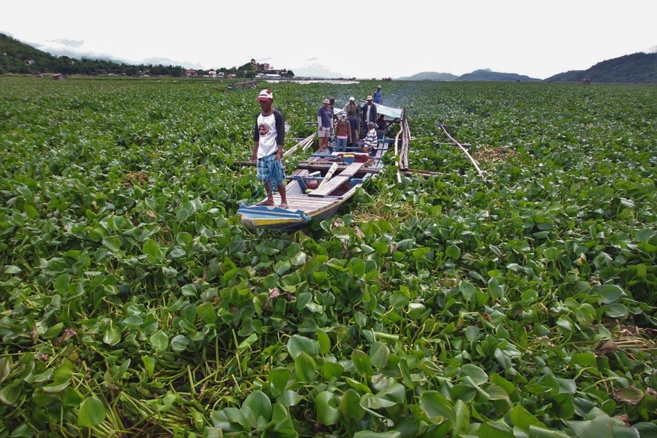 Sea of water hyacinths