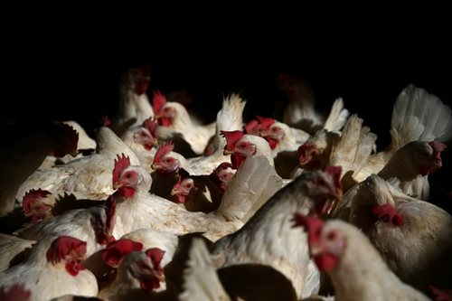 Italy culls birds after H5N8 avian flu outbreaks