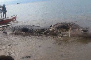 LOOK: Huge 'mystery' sea creature washes ashore in Leyte