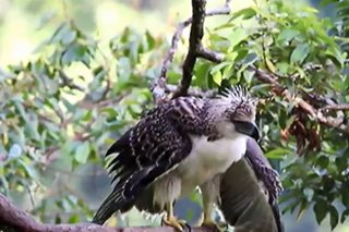 Hunting, habitat loss threaten Philippine eagle population