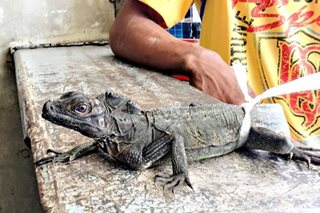 PH sailfin lizards in Misamis Oriental: An unusual case of a community lizard