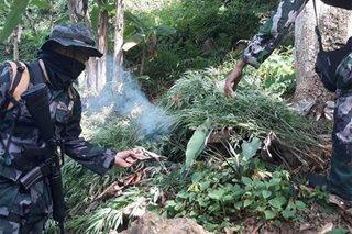 P6.8 milyong halaga ng marijuana, sinunog sa Cebu