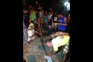 Sawa, na-rescue sa loob ng bahay sa Davao City