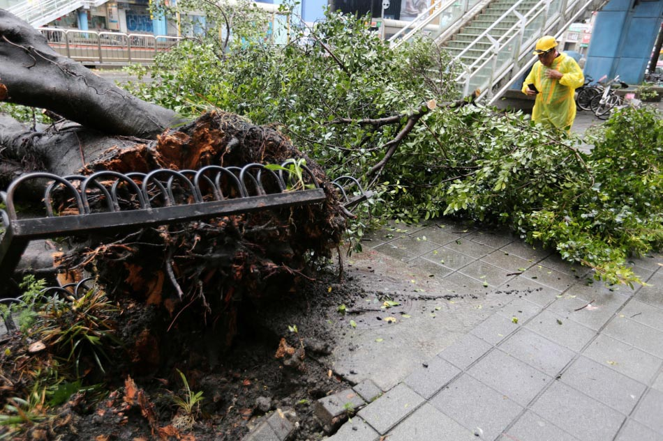 A fallen tree in Taiwan after Typhoon Maria
