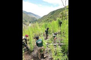 P29-M na marijuana nasabat sa 16 na taniman sa Kalinga