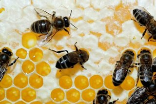 Majority of honey sold in markets contain sugar syrup: DOST