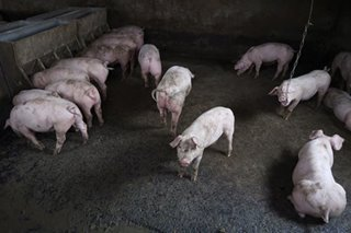 Agri chief orders ban on pork from Japan due to Classical swine fever