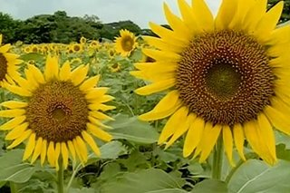 Sunflower farms sa Negros Occidental, patok sa mga turista