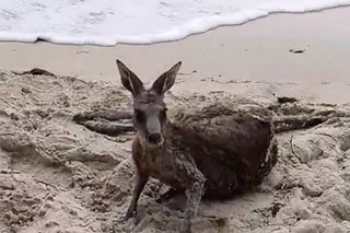 Aussie cops to the roo-scue as kangaroo caught in surf