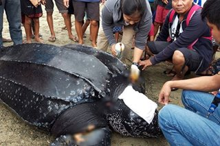 LOOK: Wounded leatherback turtle rescued in Camsur