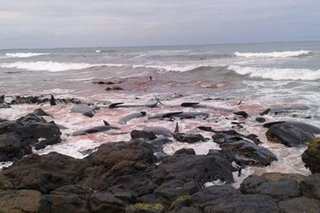 51 pilot whales dead in another case of beach stranding
