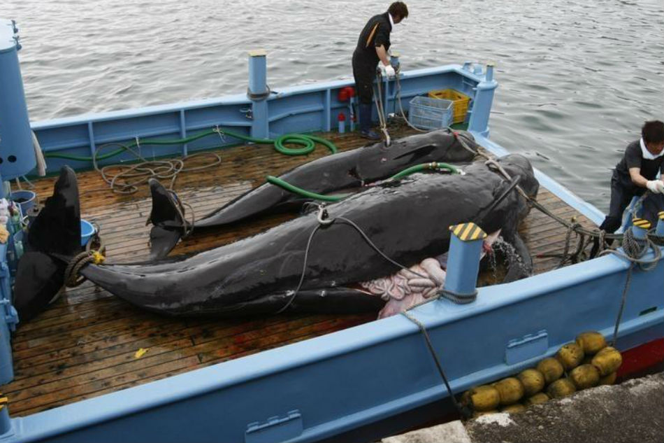 Japan 'mulling IWC Withdrawal' to Resume Commercial Whaling