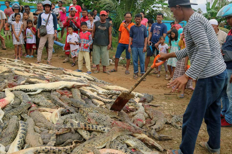 Mob kills hundreds of crocodiles after man dies in Indonesia
