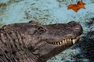 When alligators eat drugs: US police warn flushed drugs could create 'meth-gators'