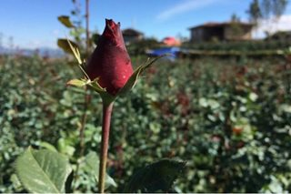 Prices of red roses in Benguet triple ahead of Valentine's Day