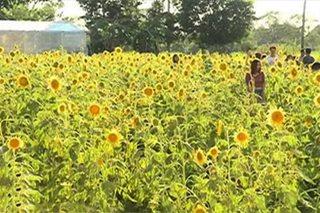 Sunflower maze, patok sa Pangasinan