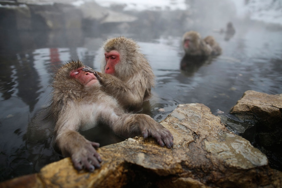 Hot Spring Likely Helping Japanese Monkeys Reduce Stress Study