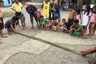 3-metrong sawa nahuli sa Butuan City