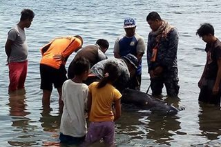 Wounded sperm whale washed ashore in Zamboanga City