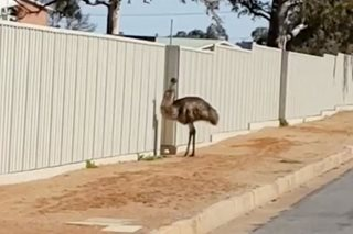 Thirsty emus flock to Australian outback mining town as drought deepens
