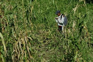 Farmers risk death to save crops from killer typhoon