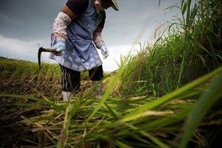 Grain pain: Japan's ageing rice farmers face uncertain future