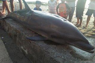 BMPM: Patay na dolphin natagpuan sa Southern Leyte