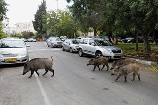 Boorish boars hog highways in Israel's Haifa