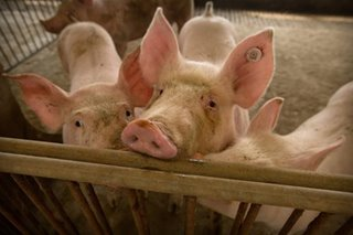 African swine fever reaches Mindanao; 1,000 pigs in Davao Occidental town test positive