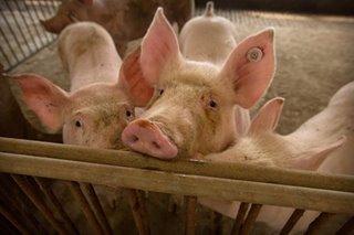Agri dept validating processed pork brands hit by swine fever