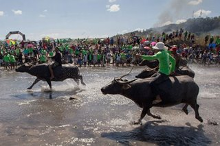 Bamban's farmers hold carabao race