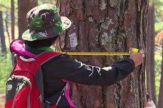 Imbentaryo ng pine trees sa Baguio, sinimulan na
