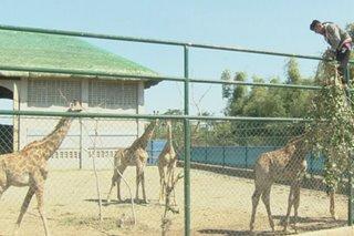 Zoo ni Chavit Singson sa Ilocos Sur, mayroong mga bagong hayop