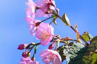 Sakura trees sa Benguet muling namulaklak